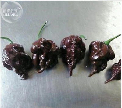 CHOCOLATE CAROLINA REAPER Pepper 10 Seeds