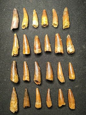 V20 - Top Collection of 24 Juvenile SPINOSAURUS Dinosaur Teeth Cretaceous