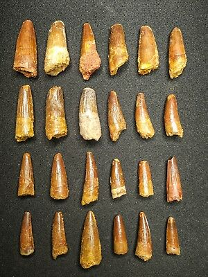 V21 - Top Collection of 24 Juvenile SPINOSAURUS Dinosaur Teeth Cretaceous