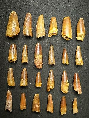 V22 - Top Collection of 24 Juvenile SPINOSAURUS Dinosaur Teeth Cretaceous