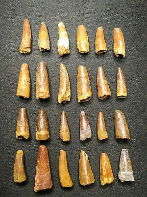 V24 - Top Collection of 24 Juvenile SPINOSAURUS Dinosaur Teeth Cretaceous