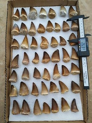 A93 - Lot of 50 Huge Finest PROGNATHODON (Mosasur) Teeth Late Cretaceous