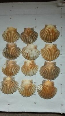 12 Large Natural Scallop Shells Sea Food Servers 9-14cm Craft Wedding Starters