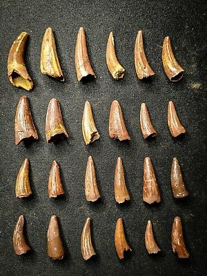 V35 - Top Collection of 24 Juvenile ELOSUCHUS Crocodile Teeth Cretaceous