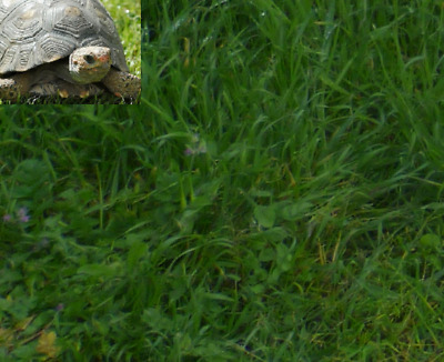 HERBE POUR TORTUES 1500 graines seeds