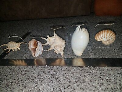 Sea shells lot With Stands nautilus conch