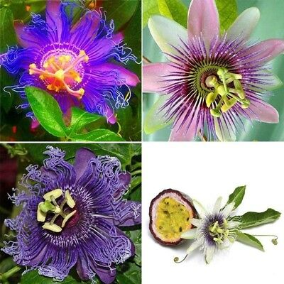 100PCS Passion Flower Seeds Garden Rare Passiflora Incarnata Plants Seeds Hot
