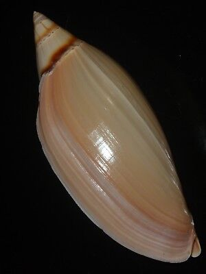 Amoria grayi 116.4mm RARE GIANT HUGE MASSIVE BEAUTY FROM PRIVATE SHELLCOLLECTION
