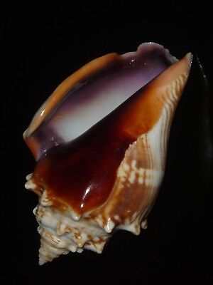 Strombus sloani 97.5mm BLUE AND ORANGE BEAUTY FROM PRIVATE SHELL COLLECTION