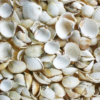 English Cockles 100g Shells, Seashells, Craft Shells, small - Lovely