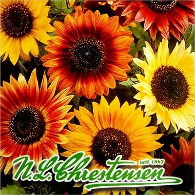 SUNFLOWER (Helianthus Annuus Autumn Beauty) 40 seeds (#1212)