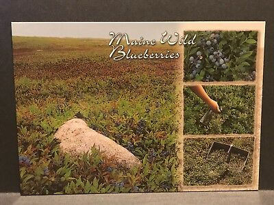 Postcard Maine Wild Blueberries rake unposted MS213