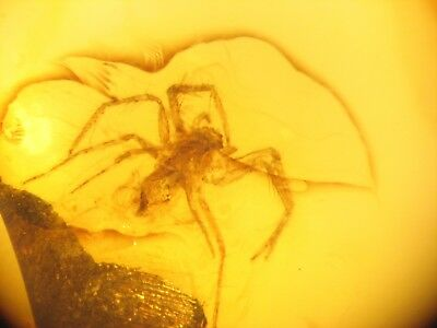 Fossil SPIDER in Baltic Amber GRADE A nice insect for any Jurassic World fan