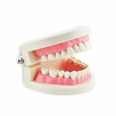 Dental Adult Standard Typodont Demonstration Teeth Model Study Model Flesh Pink