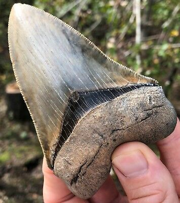 """Megalodon Shark Tooth 4.41"""" Museum Quality Extinct Fossil NOT RESTORED (M-23)"""