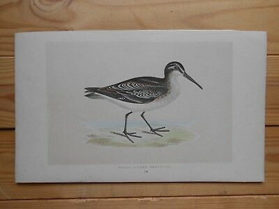 F. O. Morris, Broad-Billed Sandpiper, 19th Century Hand-Coloured Woodblock Print
