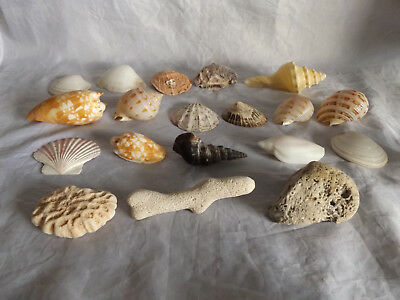 Lot of Vintage Seashells Collection ~ 13cm Conch Shell, Shells, Coral