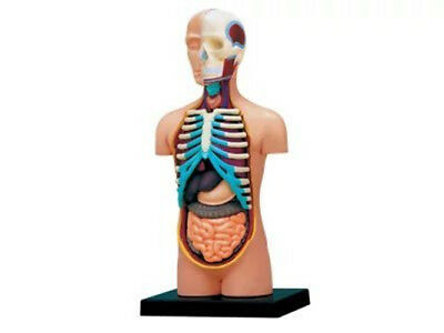 Dental Human Anatomy Model Upper Body Medical Simulation Human Anatomy
