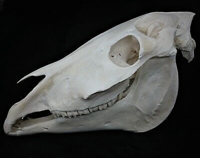 Real Horse Skull Complete W Jaw Taxidermy Skeleton Head Bones Vet