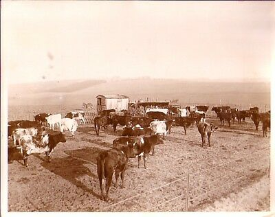 Wexcombe New Dairy Farming Industry Cows ferme vaches vintage Photo 1933