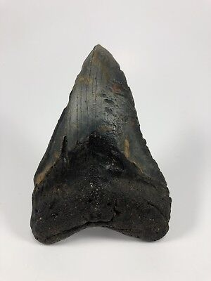 "4.67"" MEGALODON Fossil Giant Shark Teeth All Natural Large Ocean Tooth (544)"