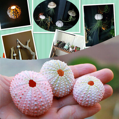 3pcs Ivory / Pink Sea Urchins Shell Conch- Craft, Embellishments, Display, Decor