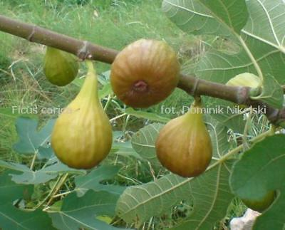5 fig cuttings, good hardiness to-15 and excellent taste,  NO SHIPPING TO USA