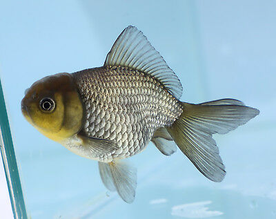 FANCY GOLDFISH - 8cm Blue Oranda - Courier Available