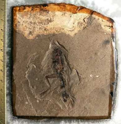Extinct Rare Frog Fossils Collectibles Fossil #0746
