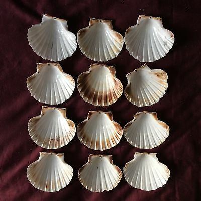 Small Scallop Shells   Prepared to Food Standards