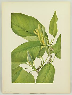 231 CUCUMBERTREE Mary Walcott Flower Vintage Original 1925 Botanical Art Print