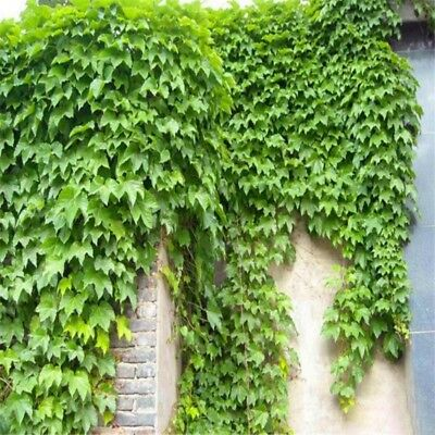 30 Seeds/Bag Home Parthenocissus Tricuspidata Fast Growing Vine Climber Seeds