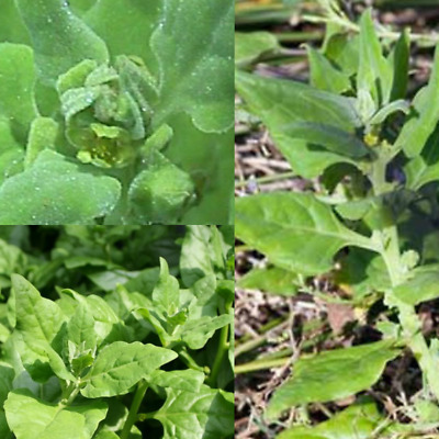 WARRIGAL GREENS NZ SPINACH (Tetragonia tetragonioides) SEEDS 'Bush Tucker Plant'