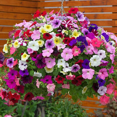 Petunia hybrida pendula mix - 2500 SEEDS - TRAILING PETUNIA MIX BALCONY #1427#11