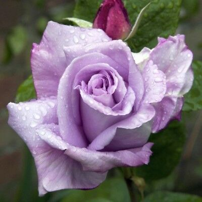 Scented Rose Blue Moon B Root Strong Plant Floribunda Ice Lilac Shrub