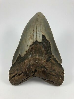 """5.97"""" XXL MEGALODON Fossil Giant Shark Large Ocean Tooth-Over 1lb (562)"""