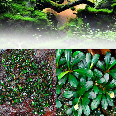 1000Pc Aquarium Plant Seed Aquatic Bucephalandra Sordidul Water Grass Fish Tank