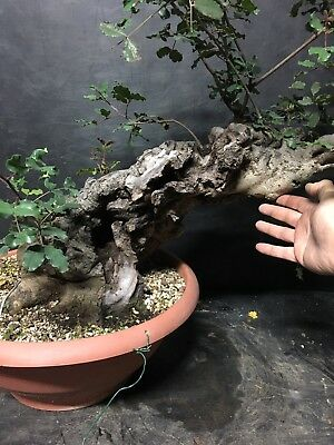 Bonsai Carrubo; Ceratonia siliqua