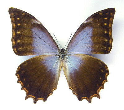 Unmounted Butterfly/Morphidae - Morpho theseus schweizeri, male, A-