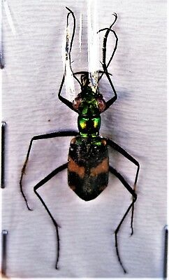 Lot of 2 Uncommon Sulawesi Tiger Beetle Thopeutica triangulomican FAST FROM USA