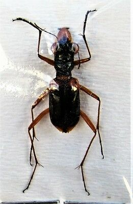Lot of 2 Uncommon Sulawesi Tiger  Beetle Therates payeni  FAST FROM USA