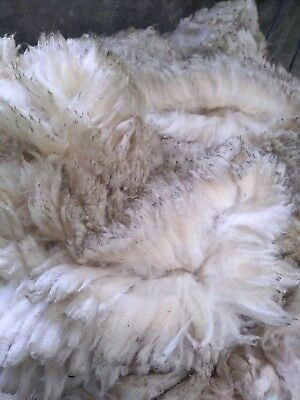 1906g Rare Raw Wool Fleece Fibers