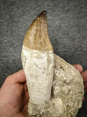C114 - Huge Rooted 4.36 Inch PROGNATHODON (Mosasaur) Tooth Cretaceous