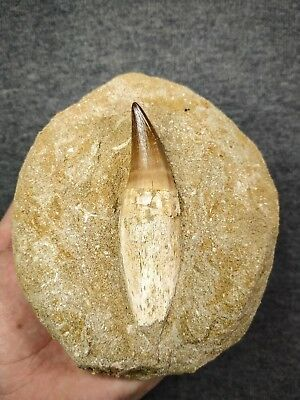 C117 - Huge Rooted 3.28 Inch PROGNATHODON (Mosasaur) Tooth Cretaceous