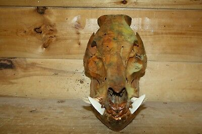 Real Glow In The Dark Wild Boar Pig Warthog Razorback Hog Skull Taxidermy BB4