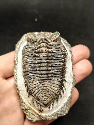T26- Nicely Eyed Well Prepared COLTRANEIA EFFELESA Middle Devonian Trilobite
