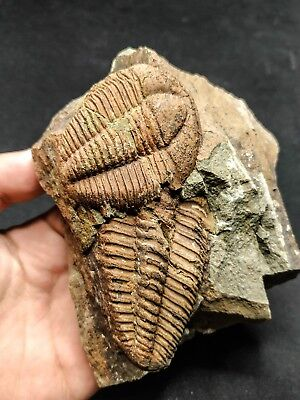 T79 - Association of 2 Rare Nicely Preserved CONOCORYPHE SP Cambrian Trilobites