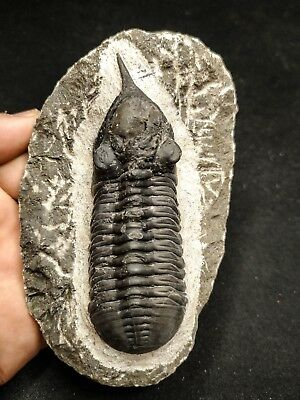 T172 - Top Well Prepared MOROCCONITES MALLADOIDES Middle Devonian Trilobite
