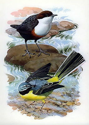 1946 Old Vintage TUNNICLIFFE Lithograph Art Bird Print Dipper & Grey Wagtail