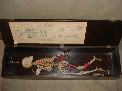 Rare 1952 W.m. Welch School Room Teaching Medical Anatomical Skeleton Model